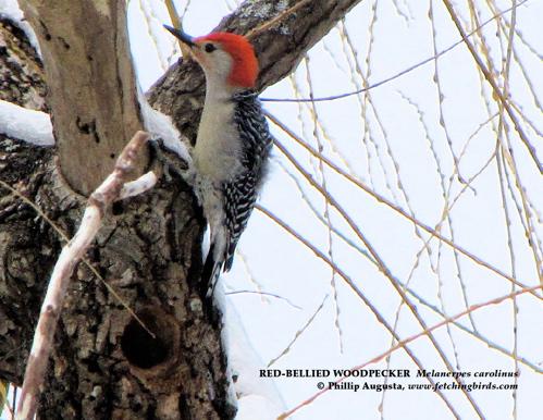 redbelliedwoodpeckerhole