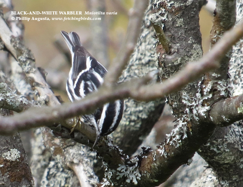 blackandwhitewarbler