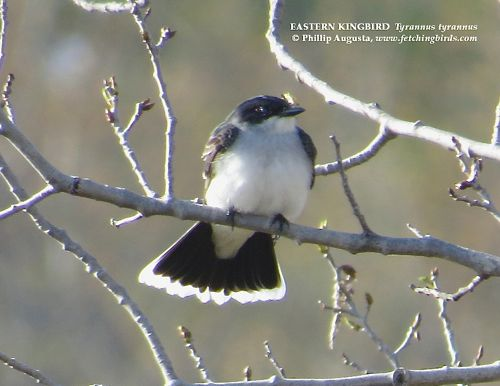 easternkingbird