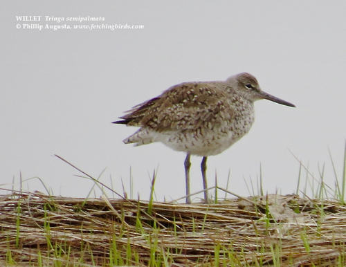 willet1