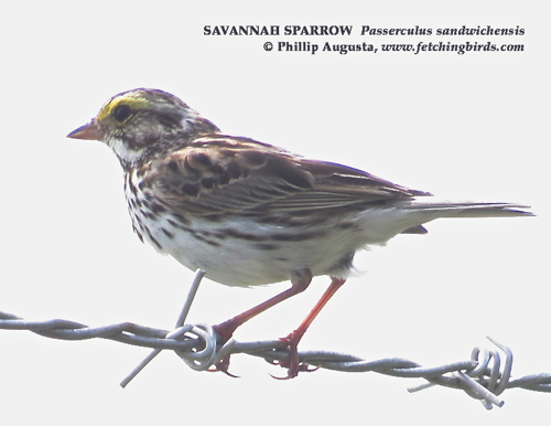 savannahsparrow2