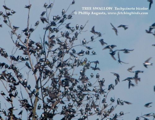treeswallowswarm
