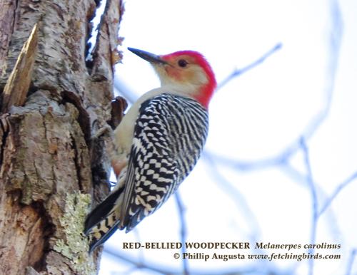 redbelliedwoodpeckermale