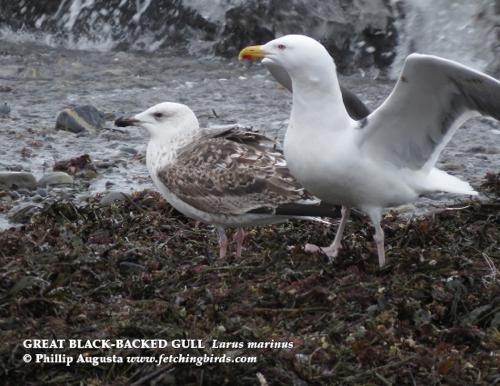 greatblackbackedgulls