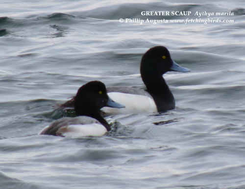 greaterscaupdrakes