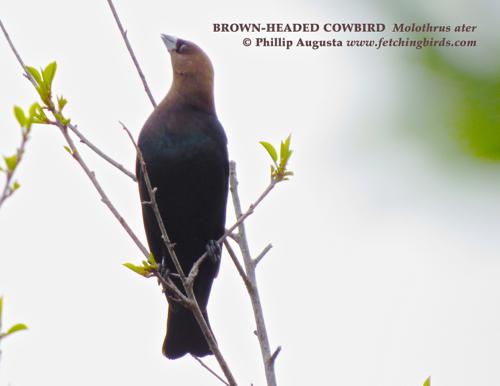 brownheadedcowbird2