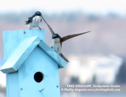 treeswallows