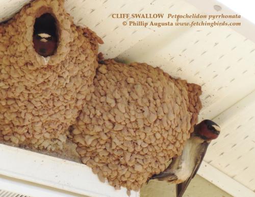 cliffswallows2