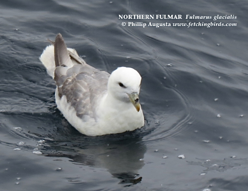 northernfulmar