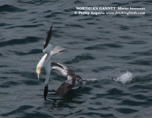 northerngannet2