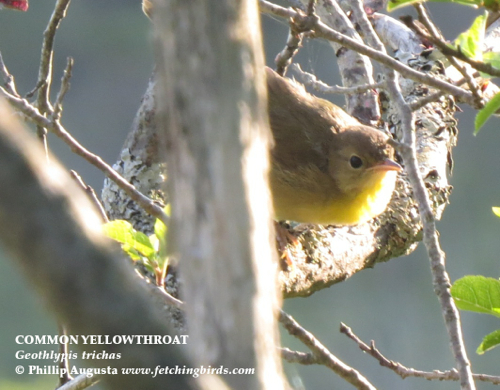 commonyellowthroatjuve
