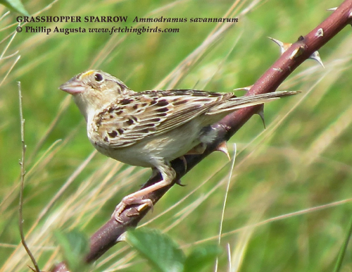 grasshoppersparrow