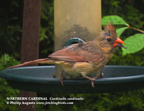 northerncardinalwetfemale