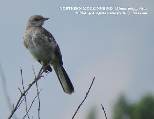 northernmockingbirdjuve