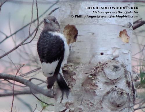 redheadedwoodpecker