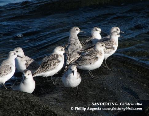 sanderlingsrocks