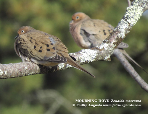 mourningdoves