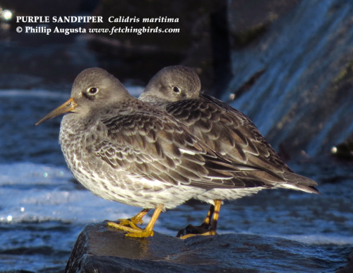 purplesandpipers