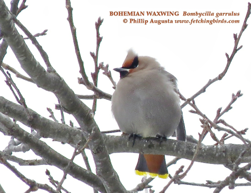 bohemianwaxwing