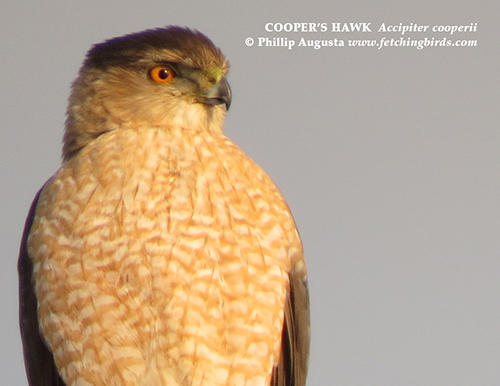 coopershawkmale