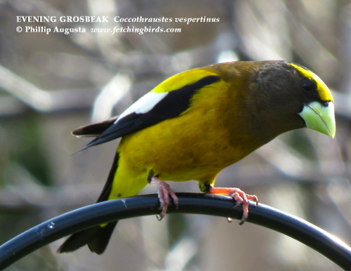 eveninggrosbeakmale