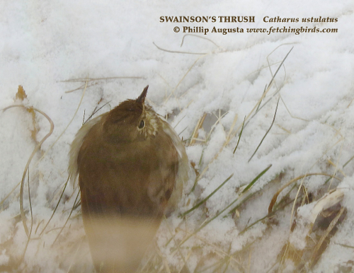 swainsonsthrush2