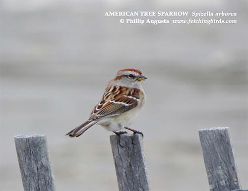americantreesparrowfence