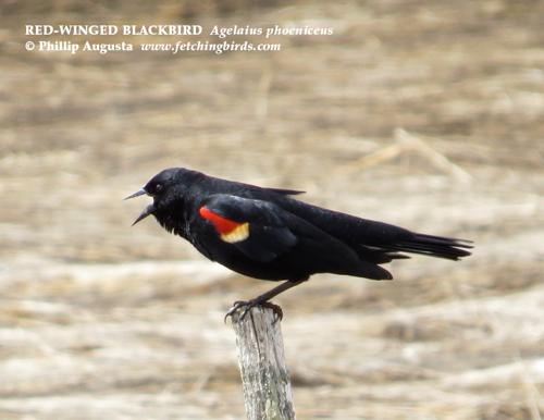 redwingedblackbirdmaleseapoint