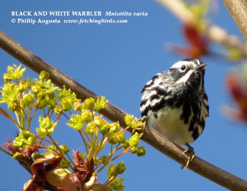 blackandwhitewarbler