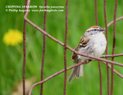 chippingsparrowfemale