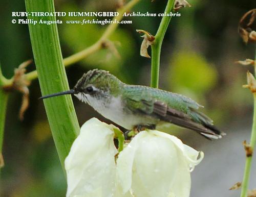 rubythroatedhummingbirdjuve (1)