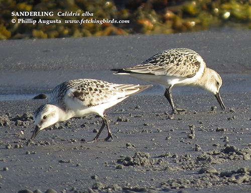 sanderlingjuvesfall16fb