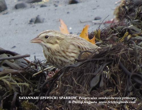 ipswichsparrow-2
