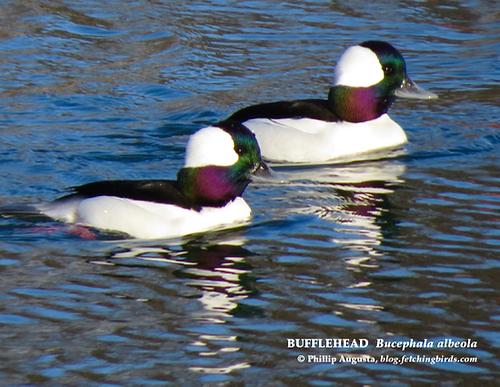 bufflehead-drakes-1