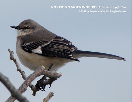 northernmockingbird-1