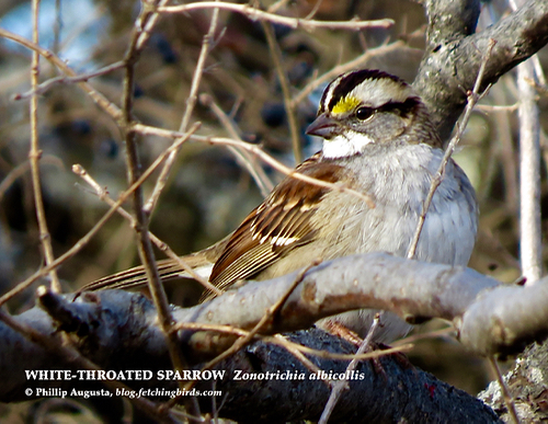 whitethroatedsparrowwhitestripes-1