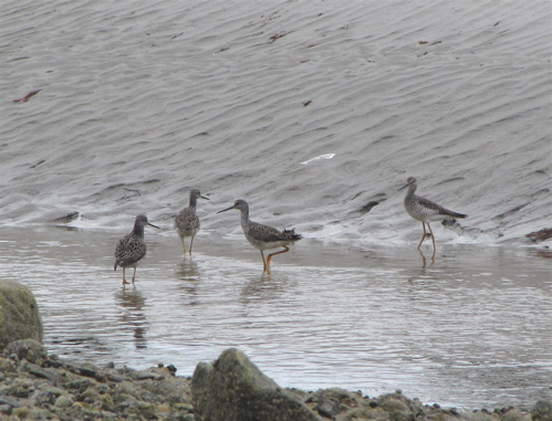 greateryellowlegs