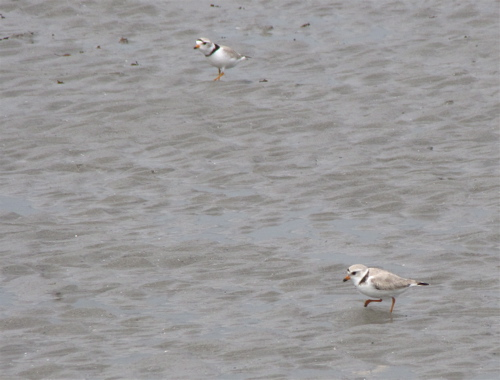 pipingplovers