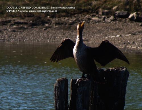 doublecrestedcormorant