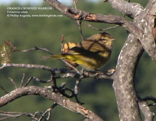 orangecrownedwarbler