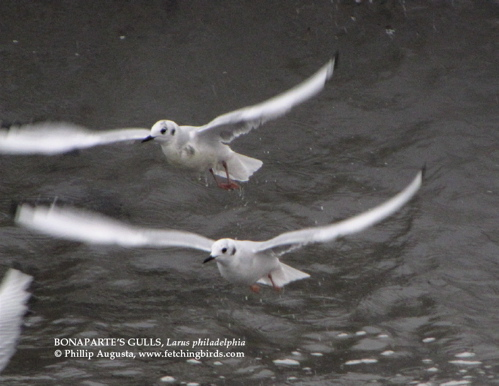 bonapartesgulls