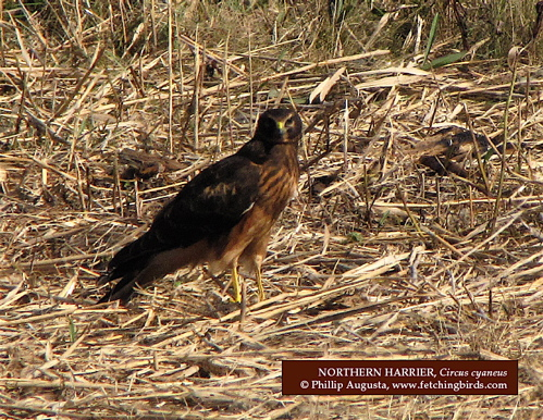 northerharrier2