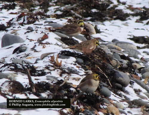 hornedlarks