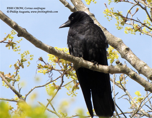 Birdaday fish crow 4 26 10 for Fish crow call
